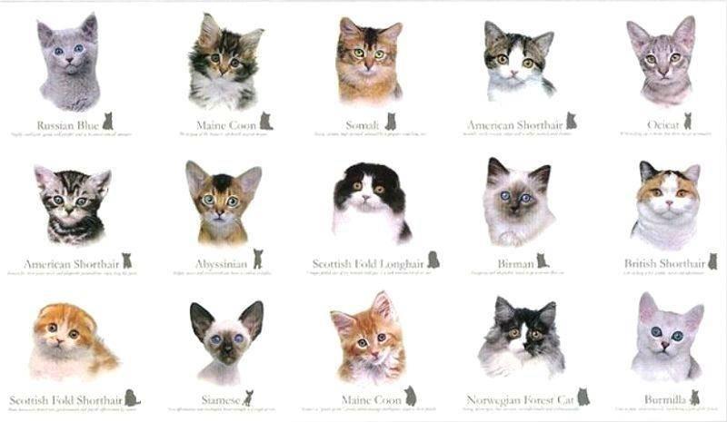 Самые редкие породы кошек в мире: название, описание, отличительные особенности внешнего вида и характера, фотографии