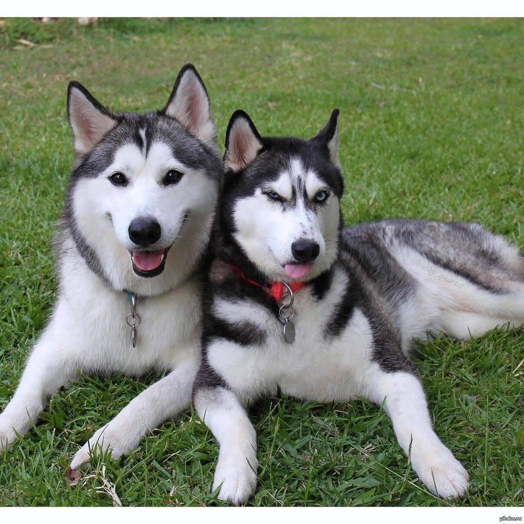 Чем отличается порода собак хаски от лайки: ответ кинолога