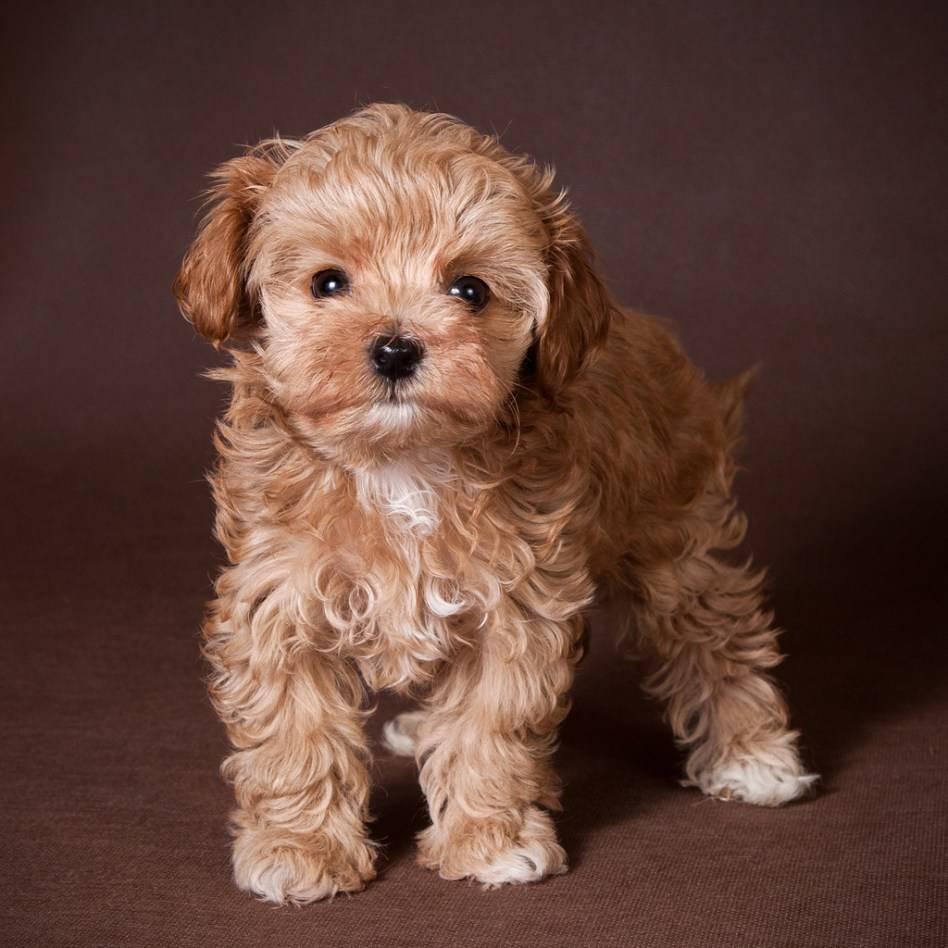 Подробная характеристика породы собак мальтипу: размер, уход, питание