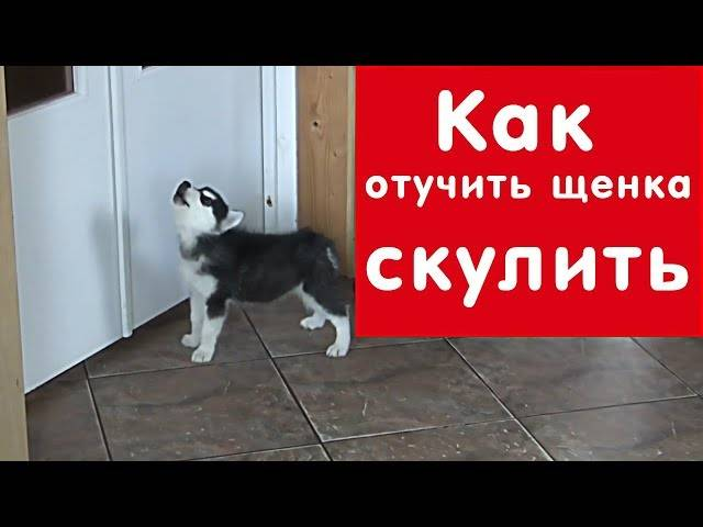 Как отучить собаку скулить