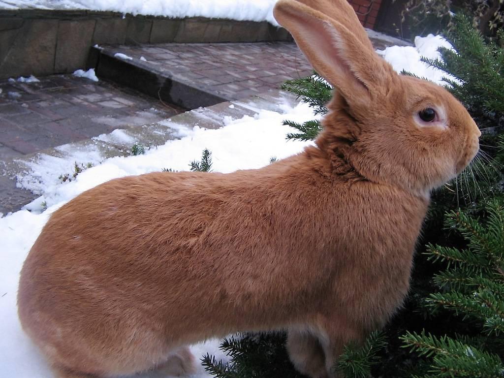 Особенности содержания бургундских кроликов