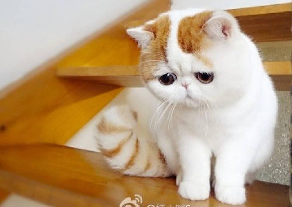 Кошки с приплюснутой мордой: порода