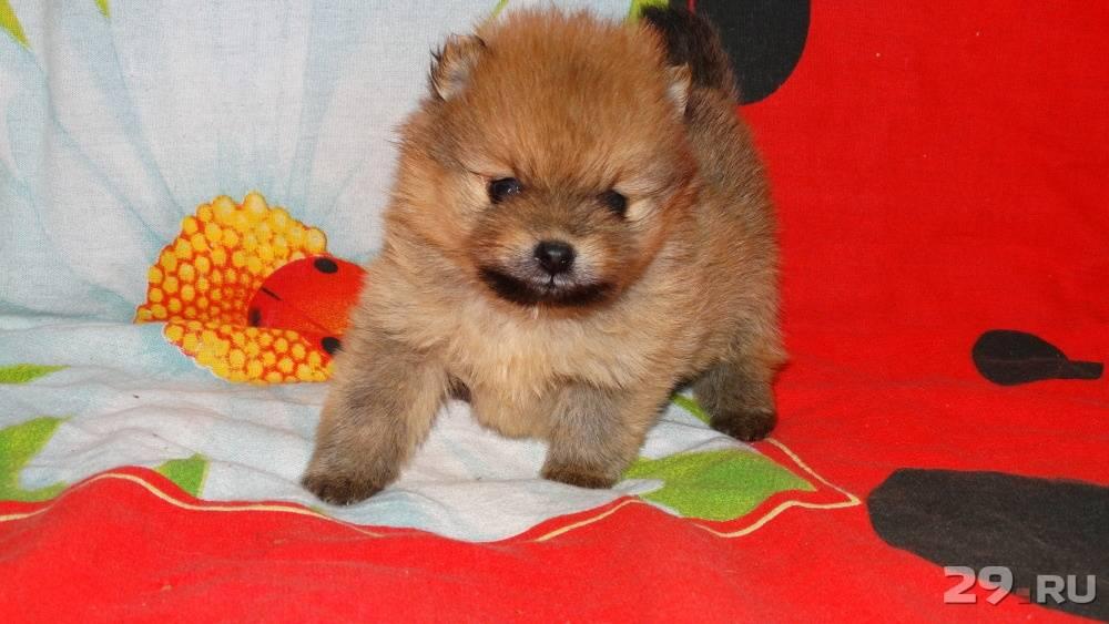 Окрас померанского шпица — классические и редкие окрасы собак