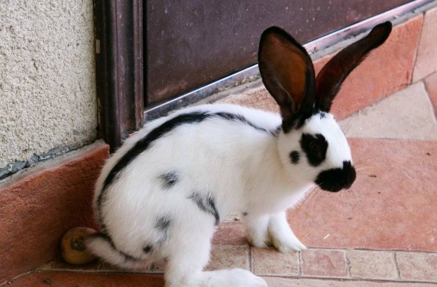 Кролики породы бабочка | животноводство