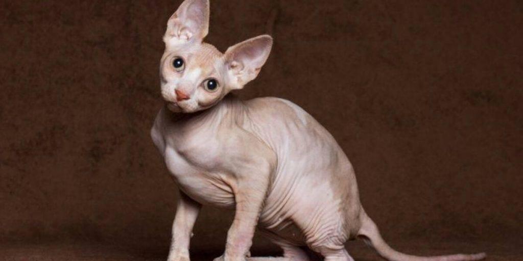 Гипоаллергенные кошки — обзор пород