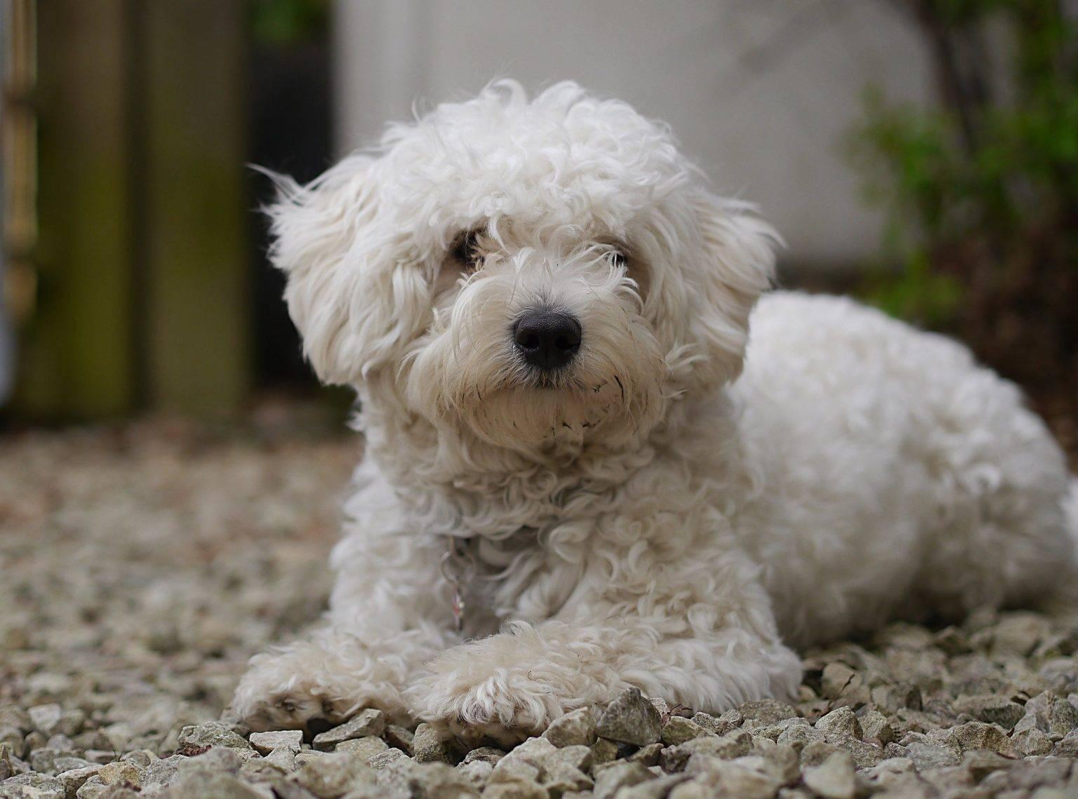 Мальтипу собака. описание, особенности, уход и цена породы мальтипу