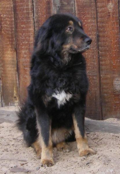 Монгольская овчарка (банхар)