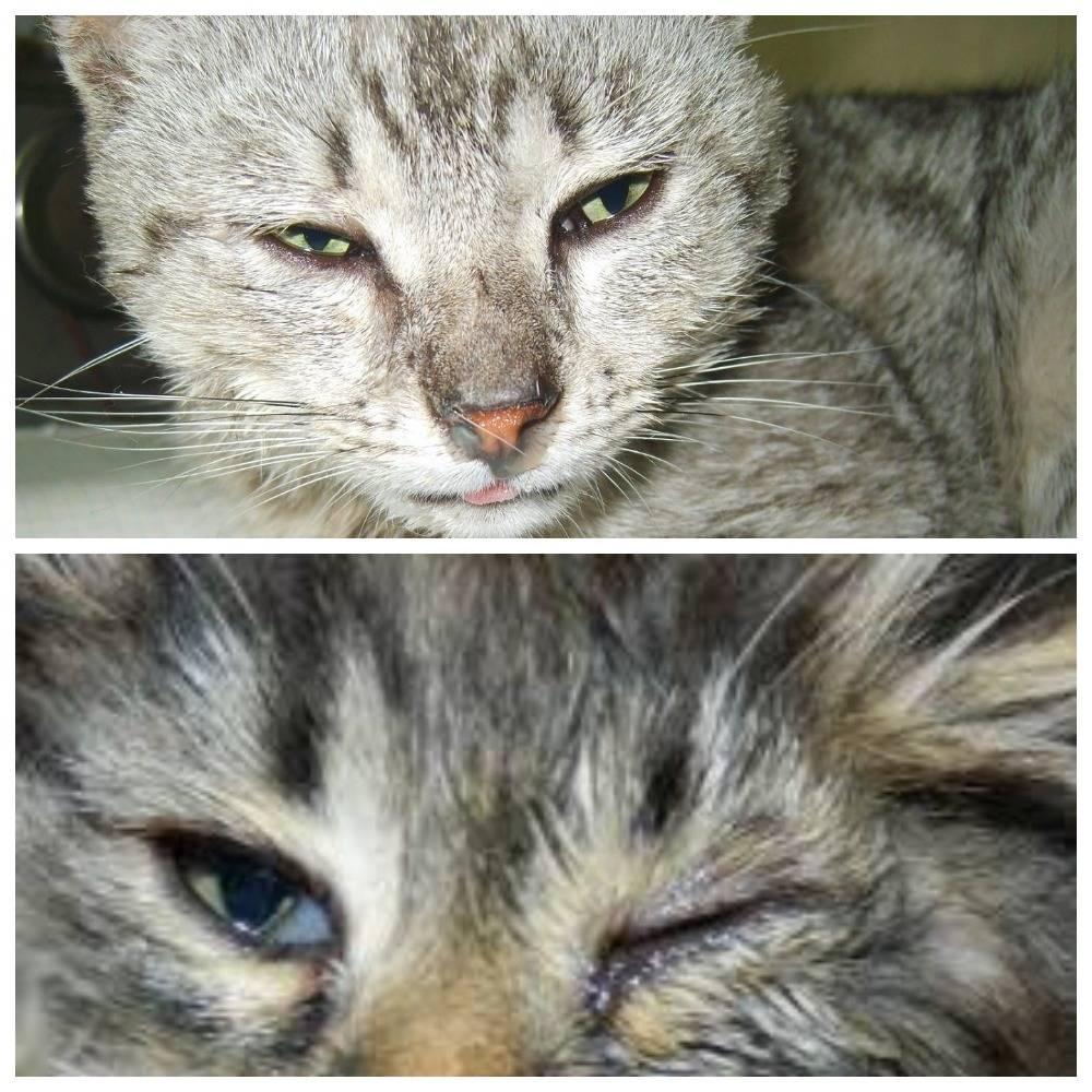Простуда у кошек и котов: симптомы, лечение. чем лечить?