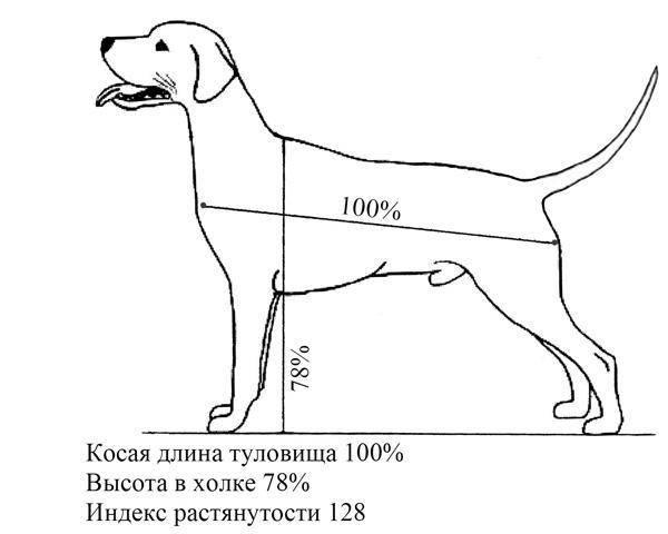 Размеры собак: как можно измерить рост взрослой собаки? как определить вес и размеры будущей взрослой собаки по щенку?