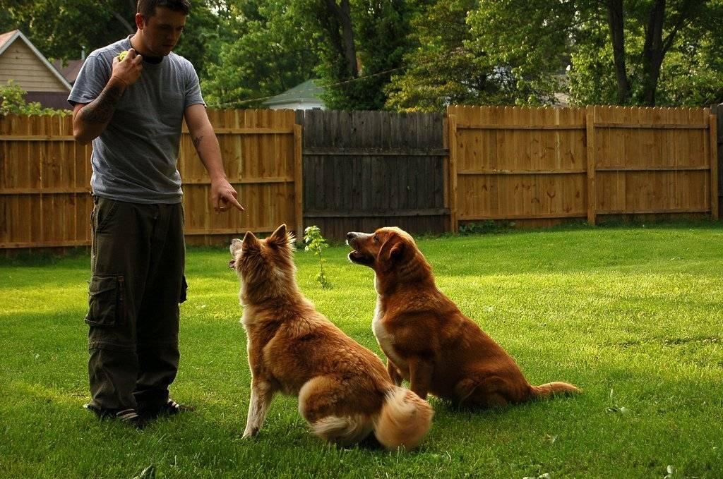 Техника обучения щенка и взрослой собаки выполнению команды «рядом»