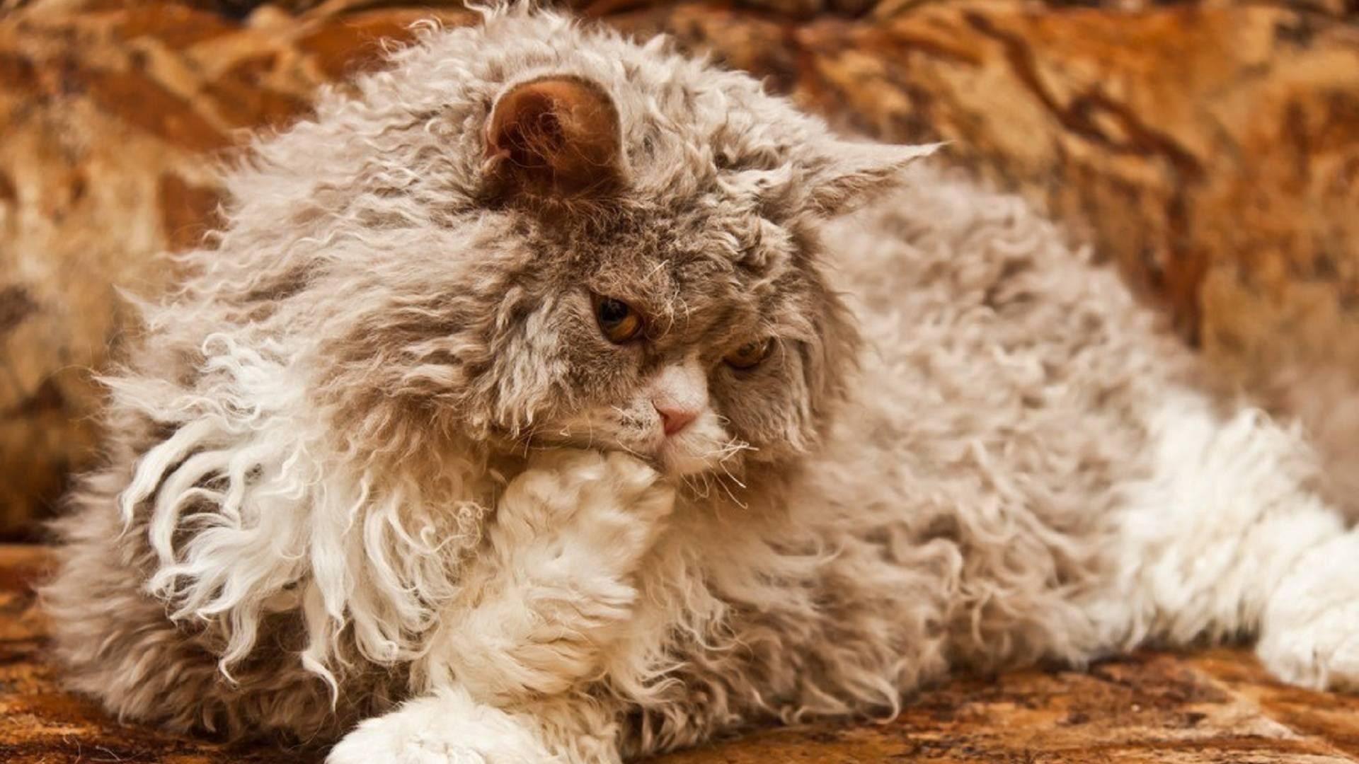 Кудрявые породы кошек: полный список с описаниями и фотографиями