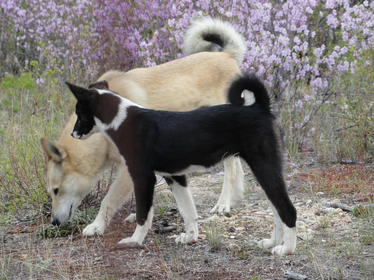 Карельская медвежья собака — описание породы