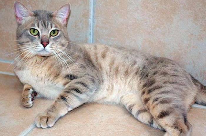 Абиссинская кошка: окрасы шерсти (дикий, голубой, соррель, фавн)