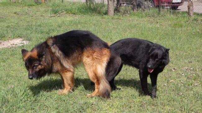 На какой день течки нужно вязать собаку? правила вязки собак