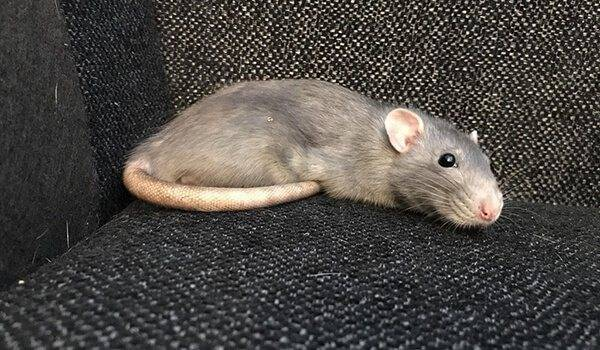 Декоративная крыса дамбо: описание различных пород и особенности ухода