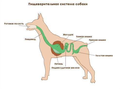 Собака не ест и тошнит желчью. собаку рвет желтой пеной