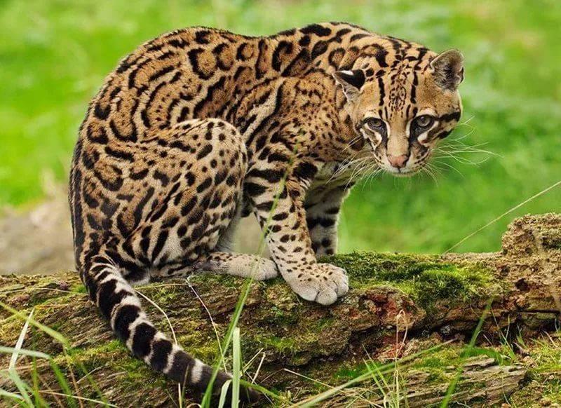 Оцелот: описание породы кошек, характер, советы по содержанию и уходу, фото