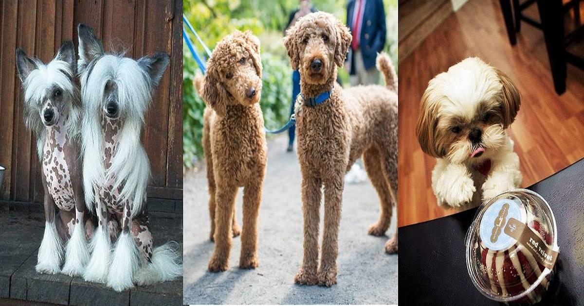 Гипоаллергенные породы собак, список безопасных для человека антиаллергеннных животных
