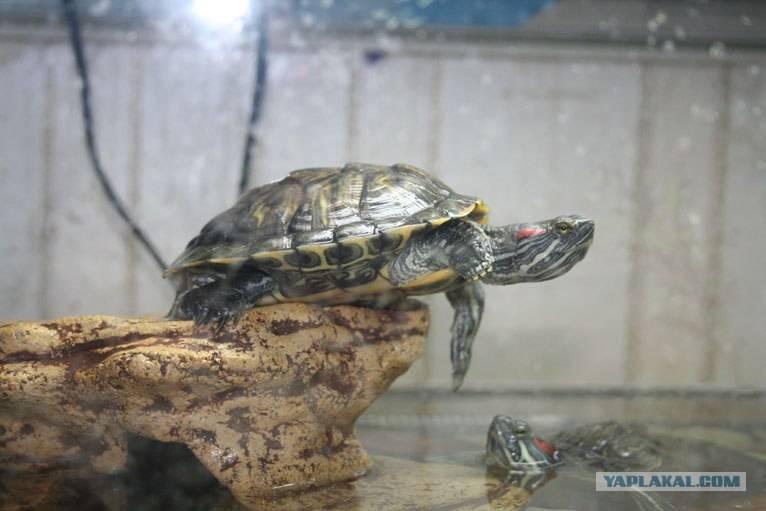 Можно ли красноухую черепаху держать без воды