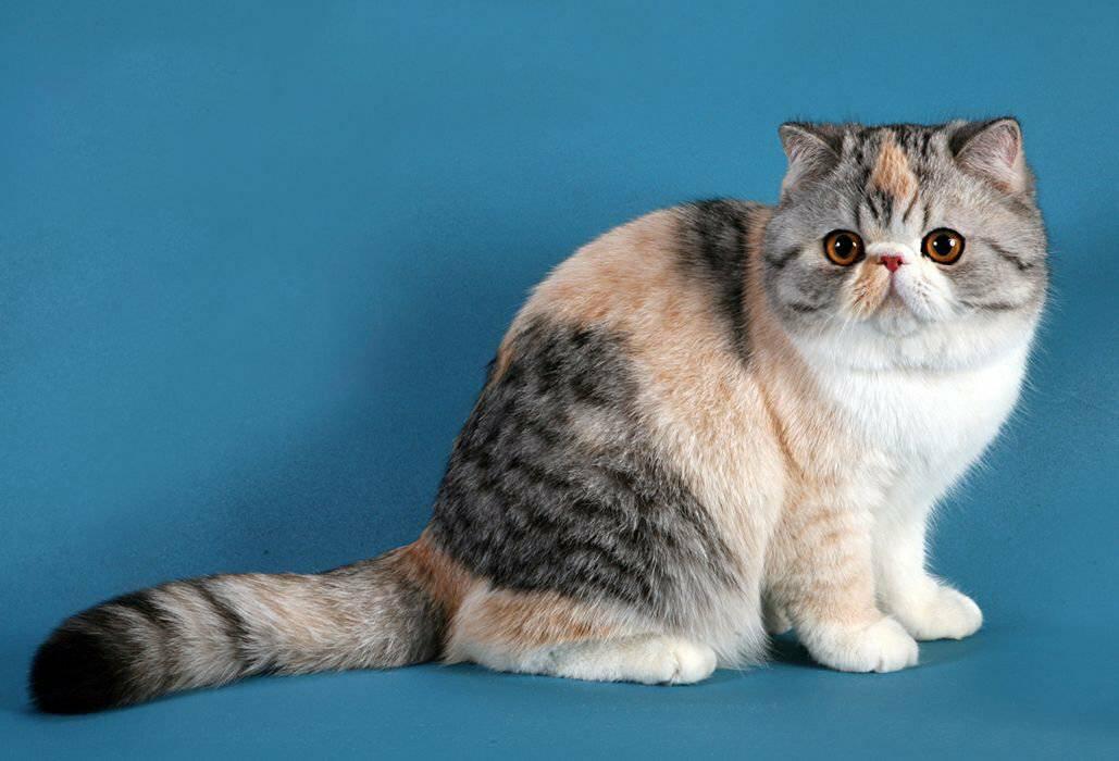 Экзотическая кошка: описание породы, характер и повадки экзот кота, отзывы владельцев, фото