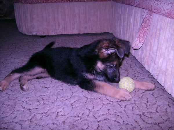 Как правильно кормить двухмесячного щенка немецкой овчарки