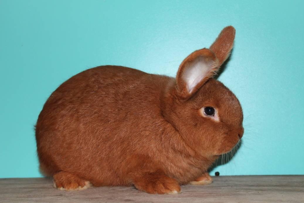 Все о новозеландских кроликах