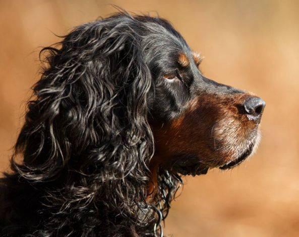 Шотландский сеттер гордон — описание и основные характеристики породы