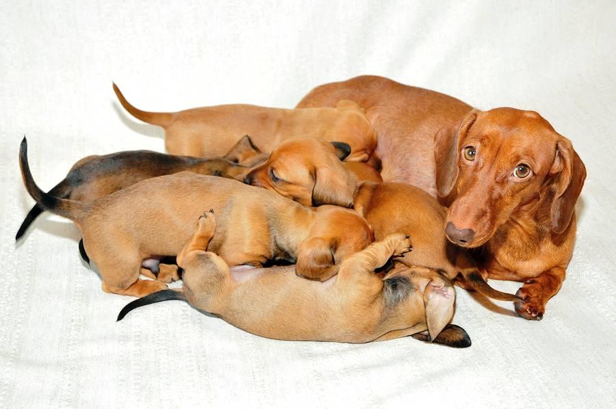 Беременность у собаки