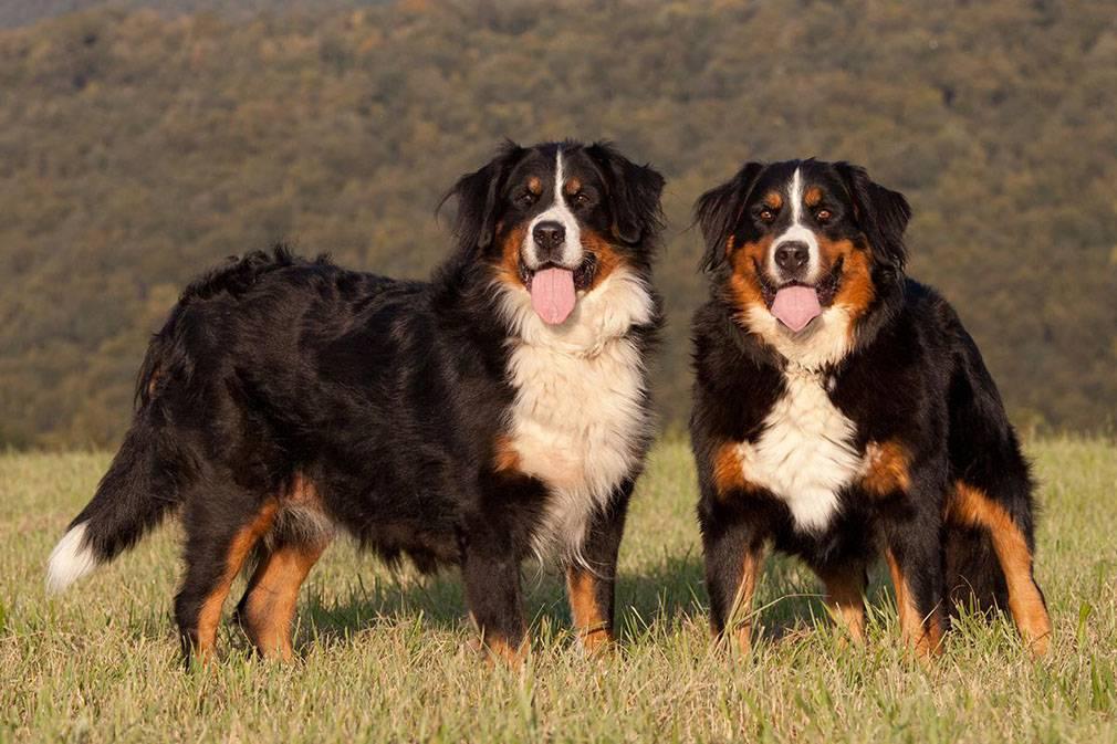 Зенненхунд: виды швейцарской породы собак (гладкошерстный энтлебухер, аппенцеллер, бернский, большой гроссер, пиренейская горная), фото и цены на щенков - сравнение