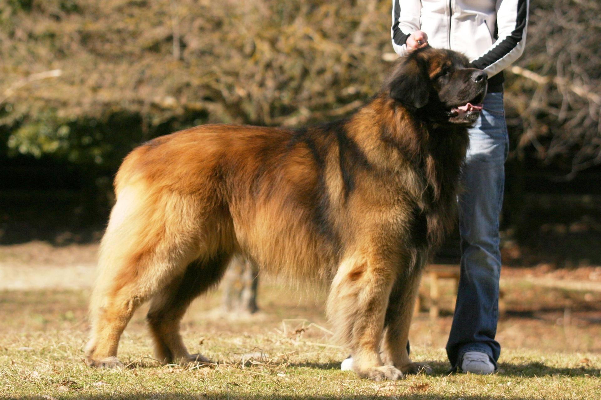 Самые большие собаки — крупные породы с фото, названиями и описаниями