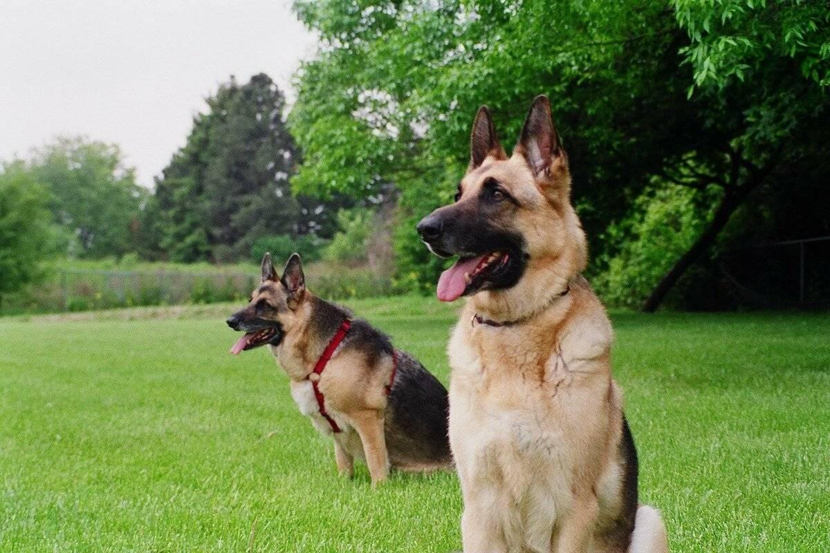 Сторожевые собаки: все виды лучших пород для частного дома