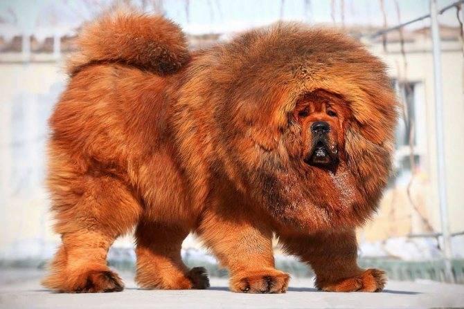 Самые сильные собаки в мире: топ-20 пород