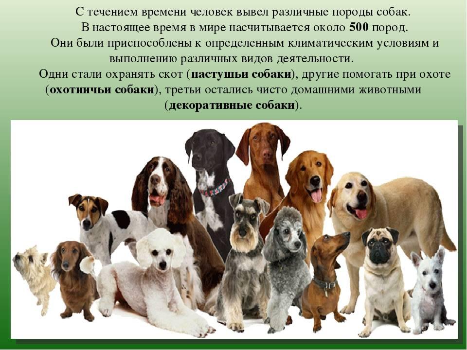 Сколько пород собак существует в мире число. сколько всего пород собак существует в мире: их перечень и классификация. развитие и закрепление породных качеств