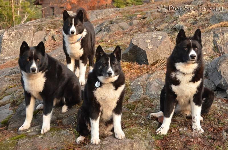 Карело-финская лайка — российская селекционная порода охотников ⋆ собакапедия