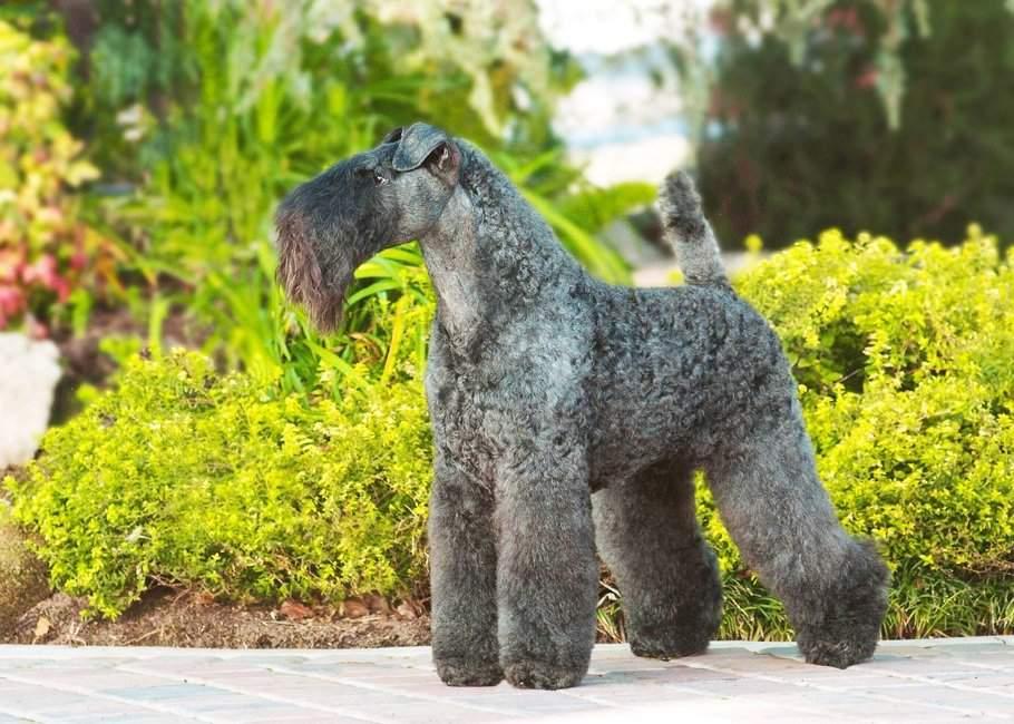 Керри-блю-терьер - характер и описание собаки, воспитание щенков, питание и наследственные болезни