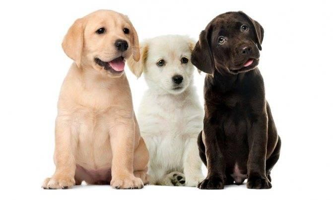 Курс послушания для любимца-лабрадора: основы дрессировки и воспитания щенка