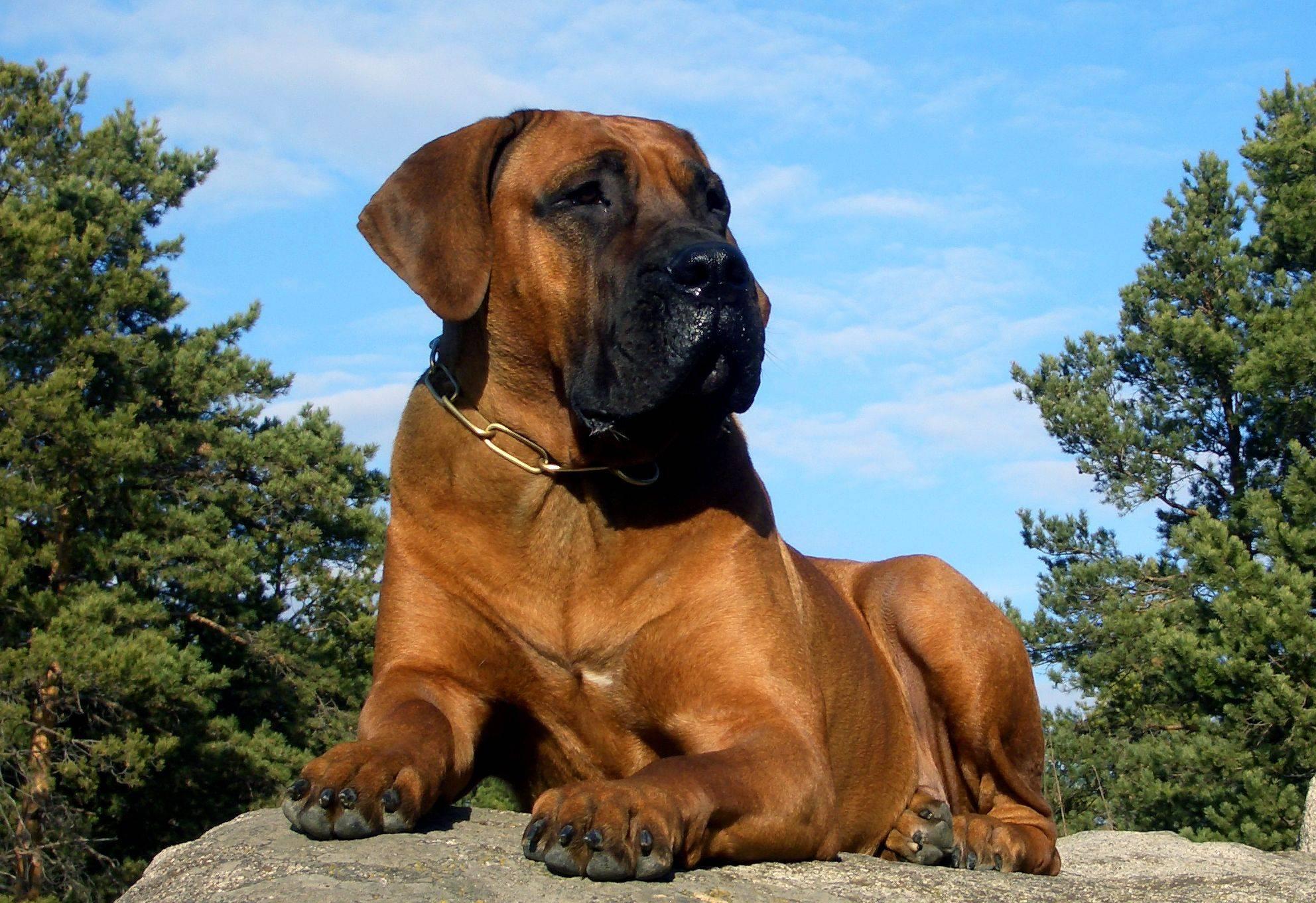 Африканский бурбуль: характеристики, история породы, особенности содержания собаки