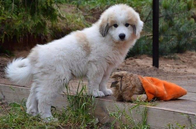 Пиренейская горная собака (большая пиренейская собака): фото, купить, видео, цена, содержание дома
