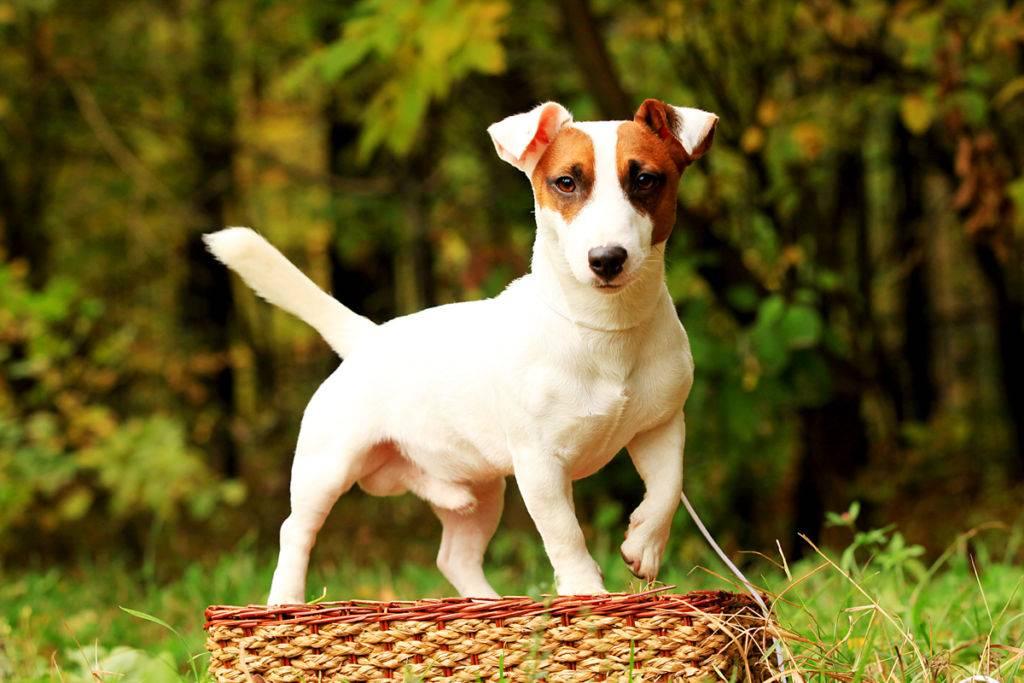 Порода собаки из фильма маска (50 фото): взрослый джек рассел терьер, какая из кинофильма трудный ребенок, какое название майло, был черный пес