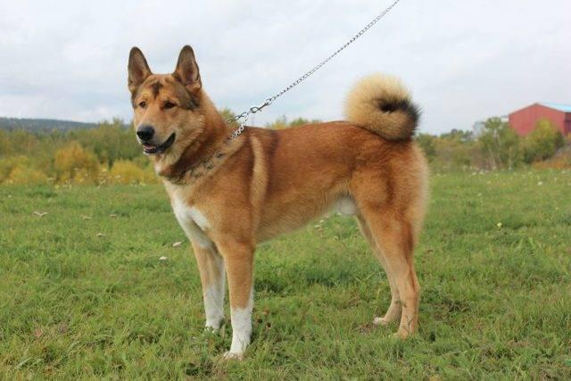 Восточносибирская лайка – энциклопедия о собаках