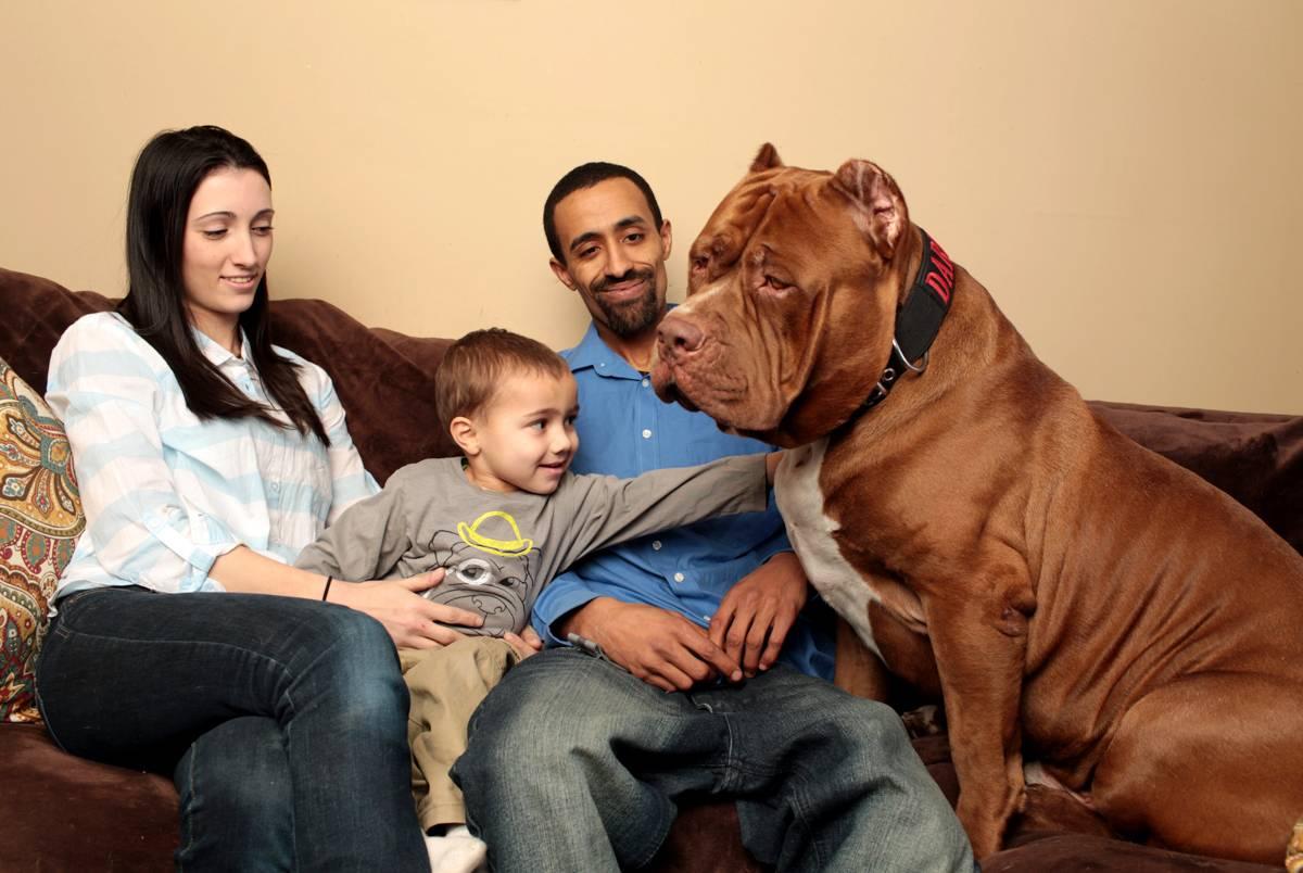 Собаки из фильма халк. питбуль халк — самый большой питбультерьер в мире, интересные факты о собаке-гиганте, фото