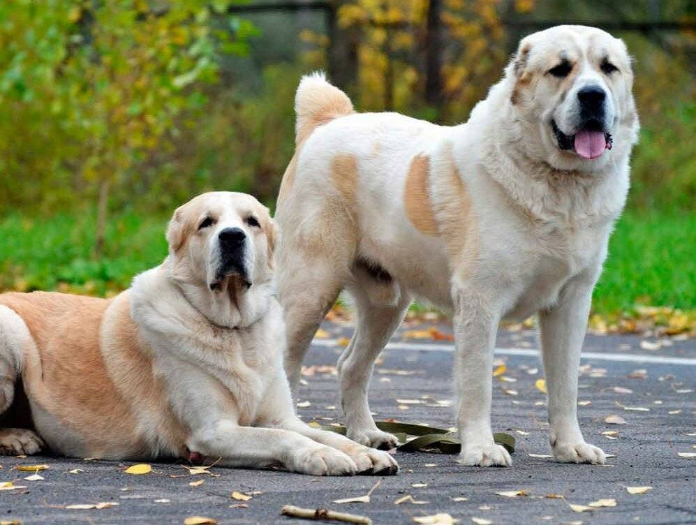 Топ 10 самых сильных пород собак - лучшие топ 10