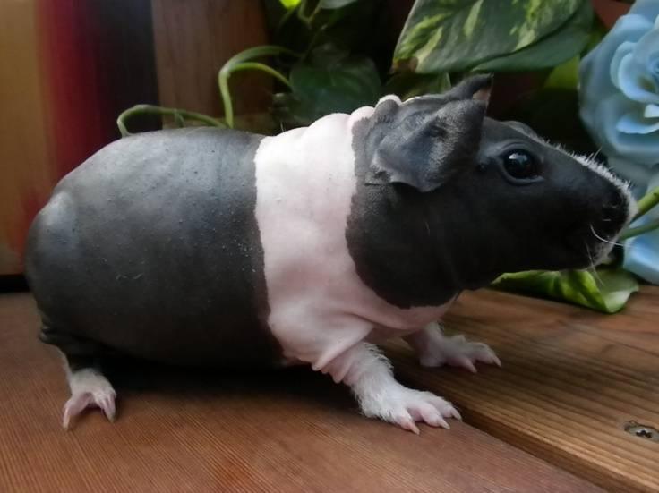 Морская свинка (лат. саviа роrсеllus)