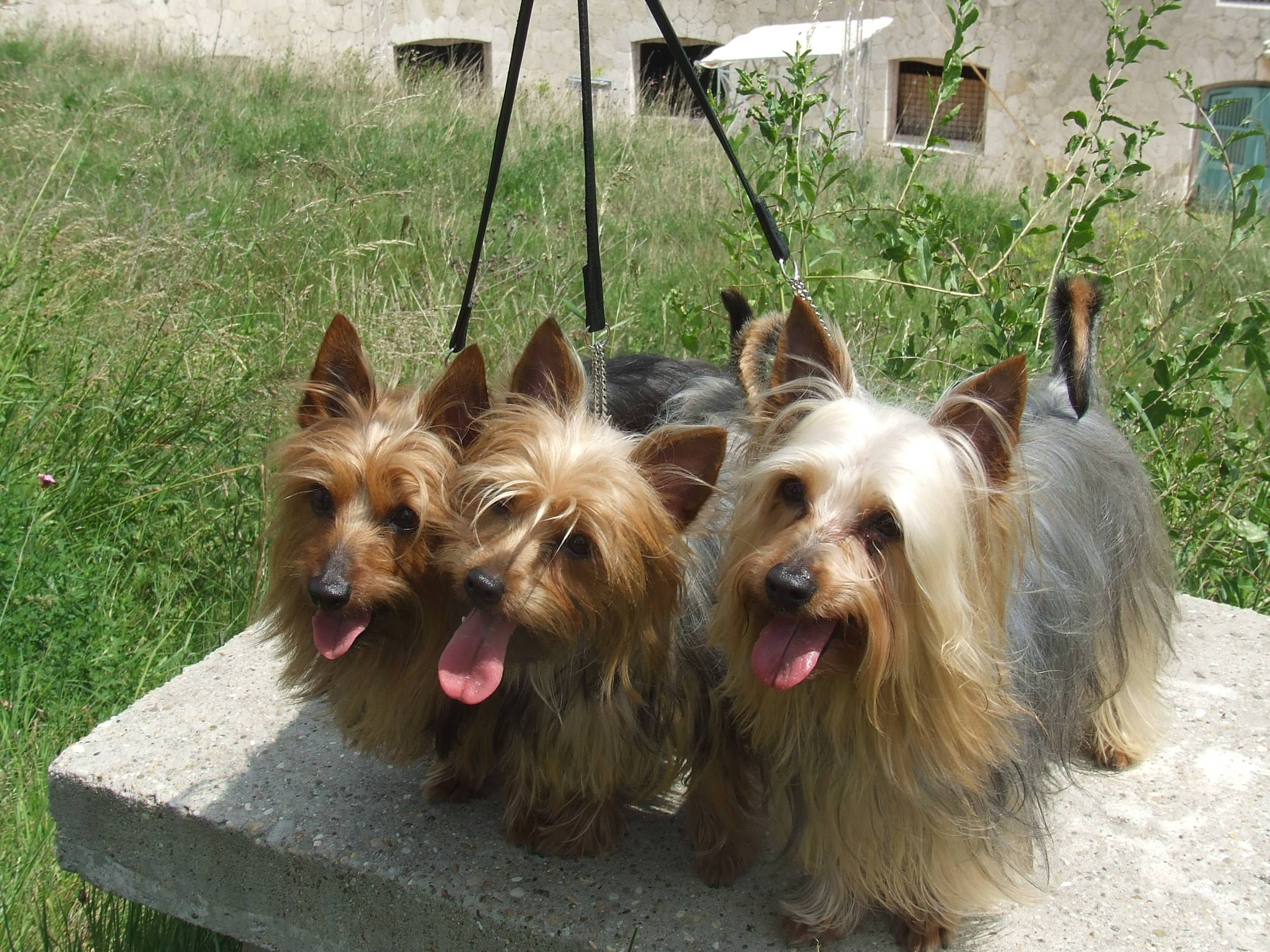 Собаки » породы » австралийский шелковистый терьер (силки-терьер)