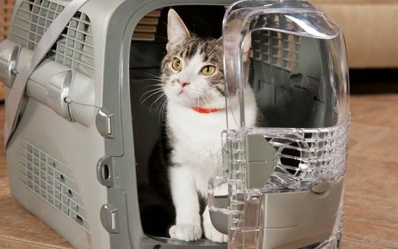 Как перевезти кота в самолете: подробная инструкция и советы