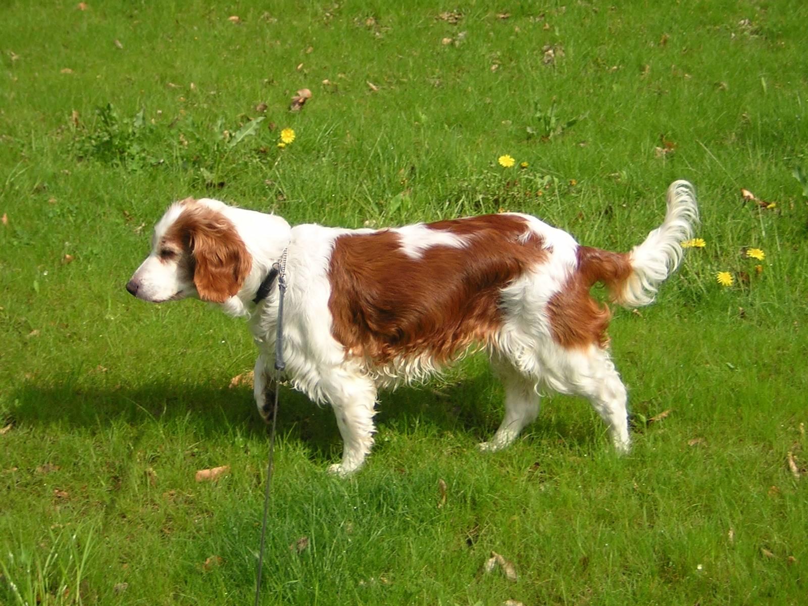 Спрингер собака. описание, особенности, уход и цена породы спрингер   животный мир
