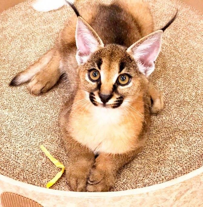 Каракет (порода кошки) - фото, описание, цена и где купить