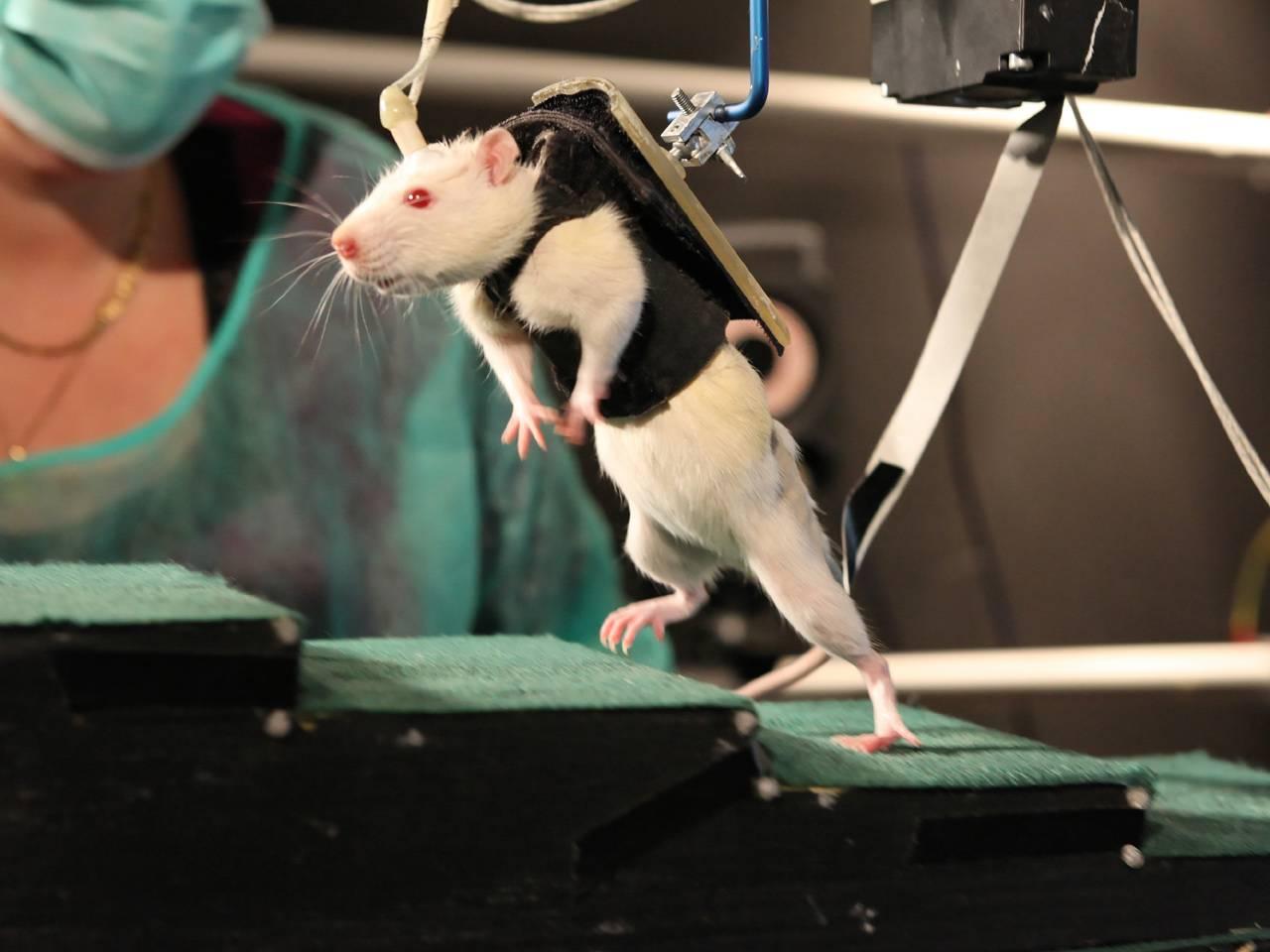 Все о декоративных крысах: как содержать и ухаживать за ними в домашних условиях