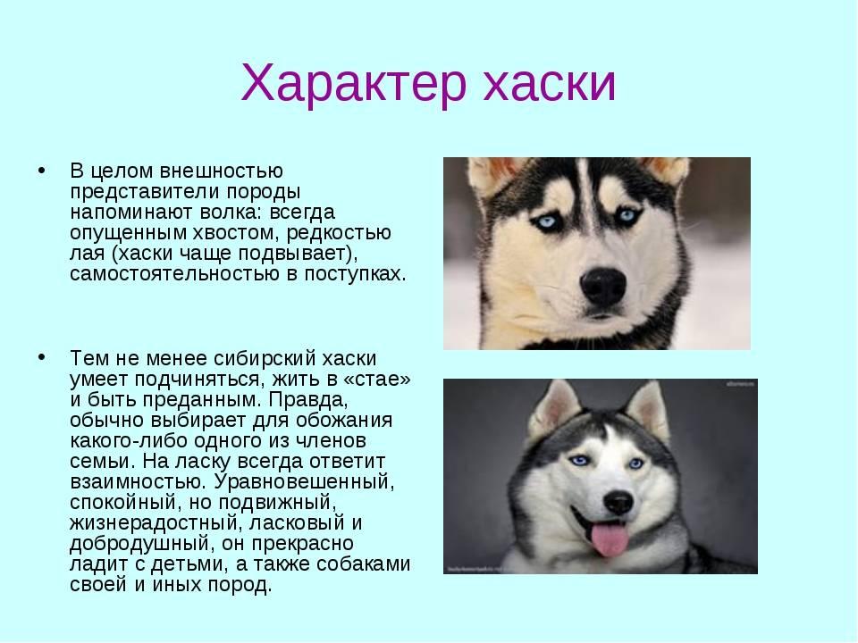 Собака лайка: описание породы, характеристика сибирских лаек, продажа в россии