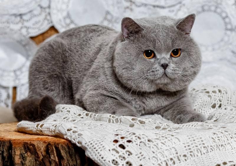 Британская короткошёрстная кошка: описание породы, фото, характер